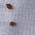 How to Find Bed Bugs in Your Car—and How to Get Rid of Them