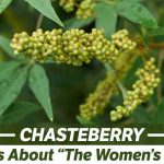 Chasteberry: Facts About 'The Women's Herb'